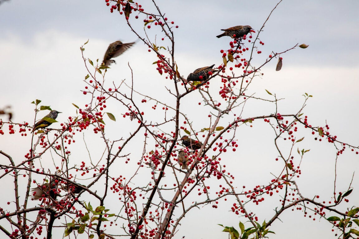Birds picking at berries on some branches