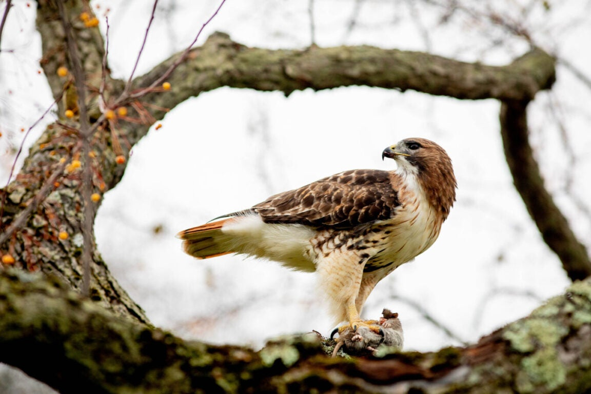 A hawk or a falcon standing on a branch looking cool as hell