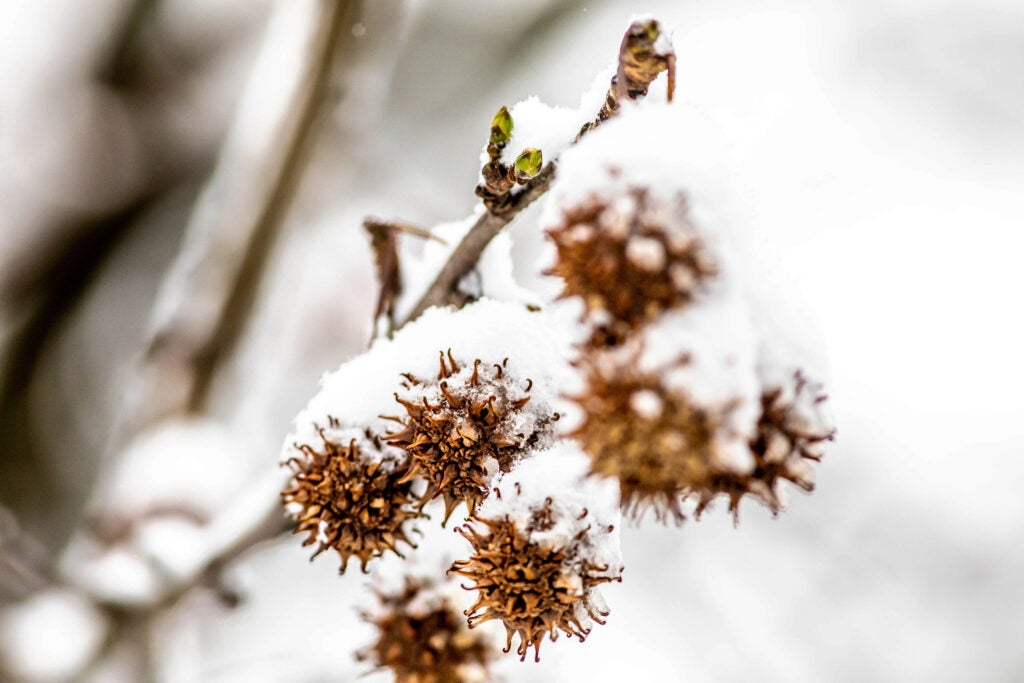 Frozen burs on a branch covered in snow