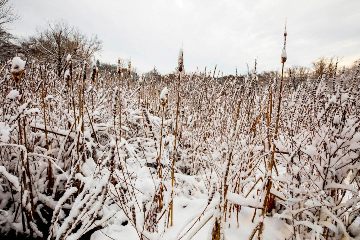 A field of tall grass with snow on it