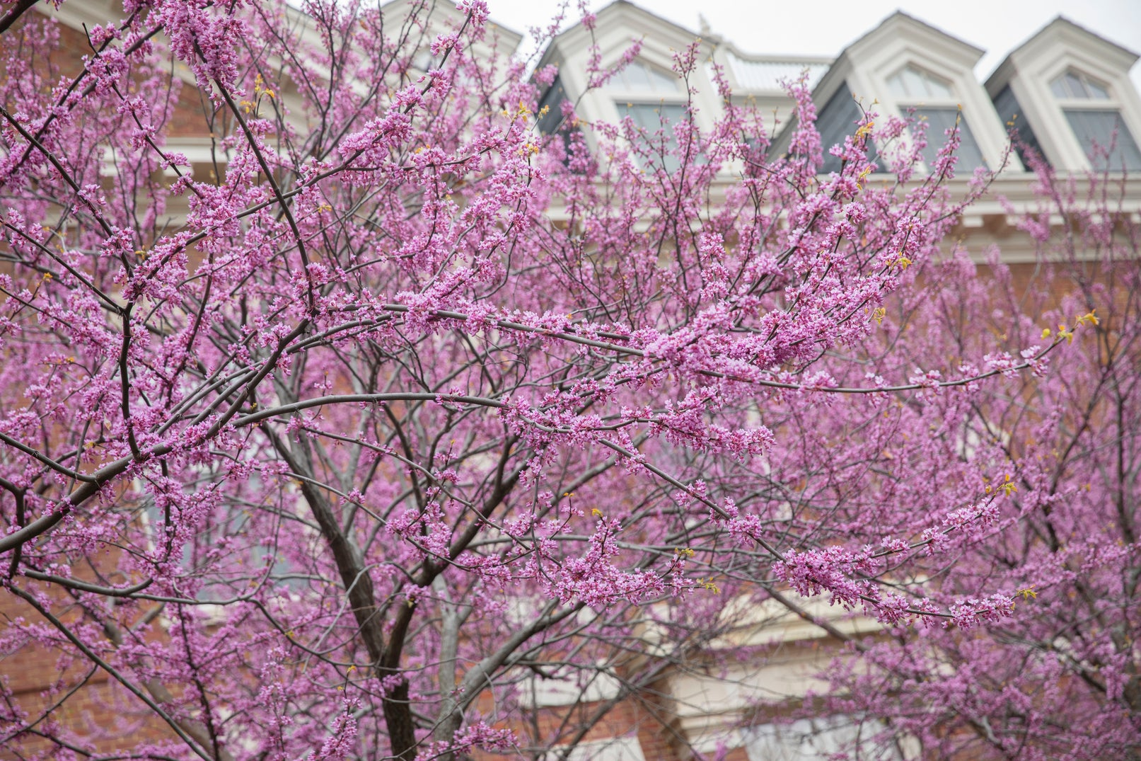 Pink flowers in bloom on branches of a tree