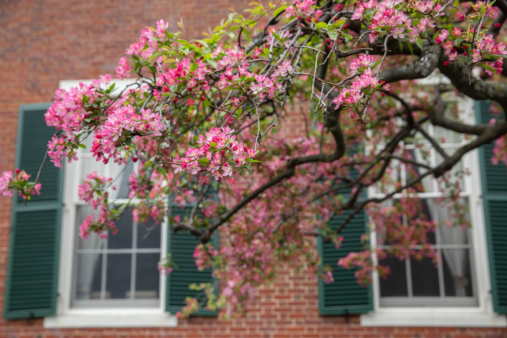 Pink flowering trees bloom outside a brick building with white trim and green shutters.