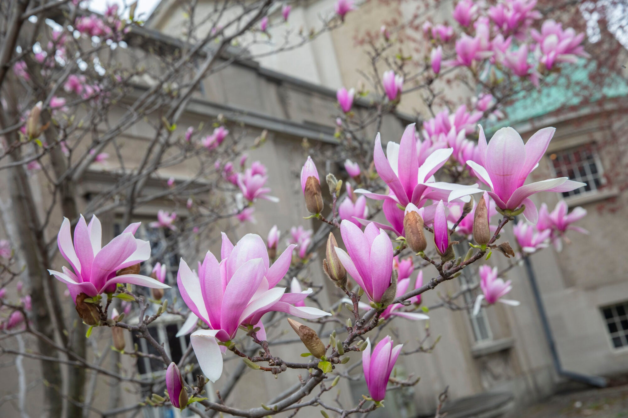 A tree blooming with pink and white flowers in front of a white building