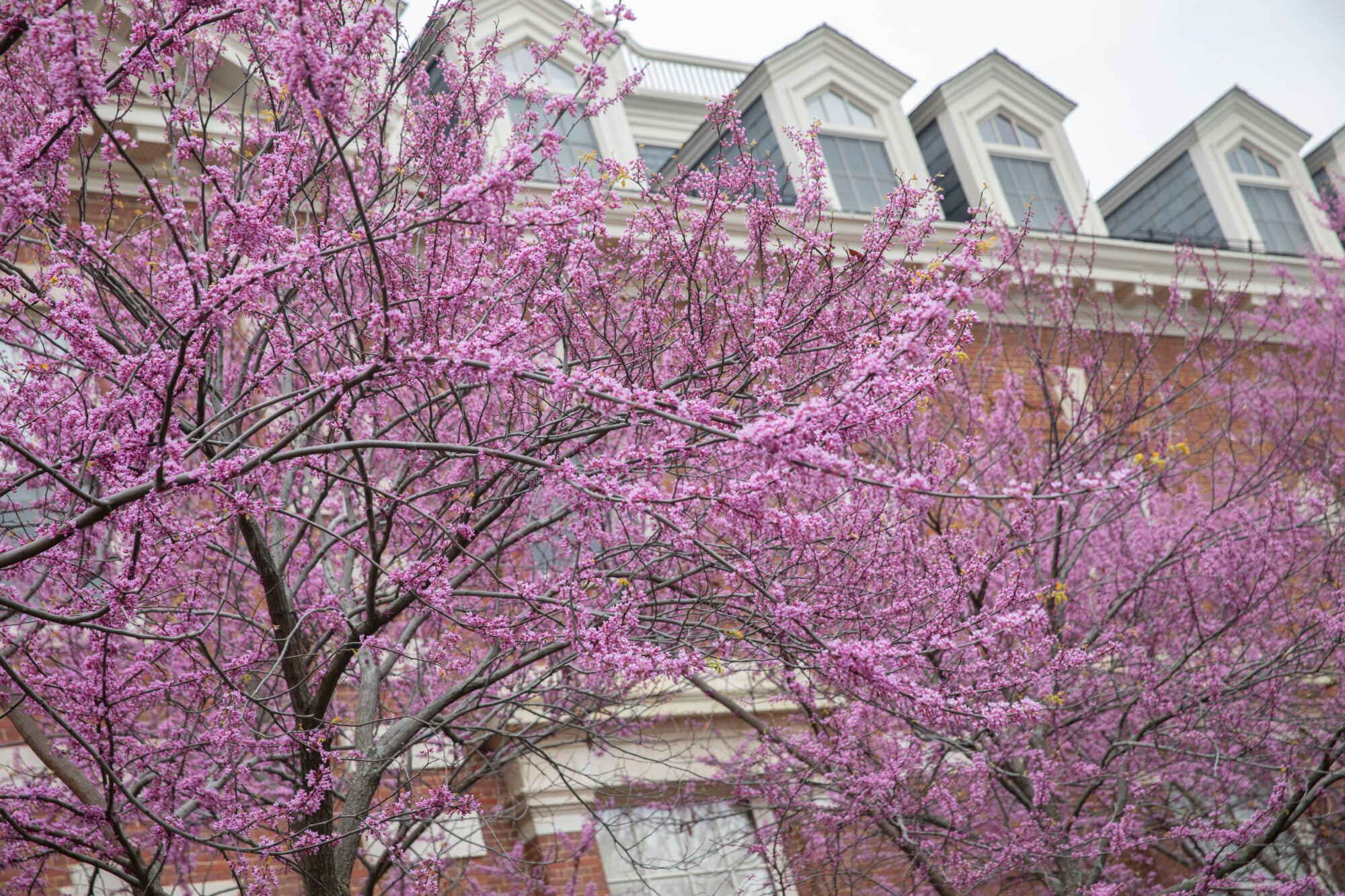 tiny pink flowers on a tree in front of a brick building