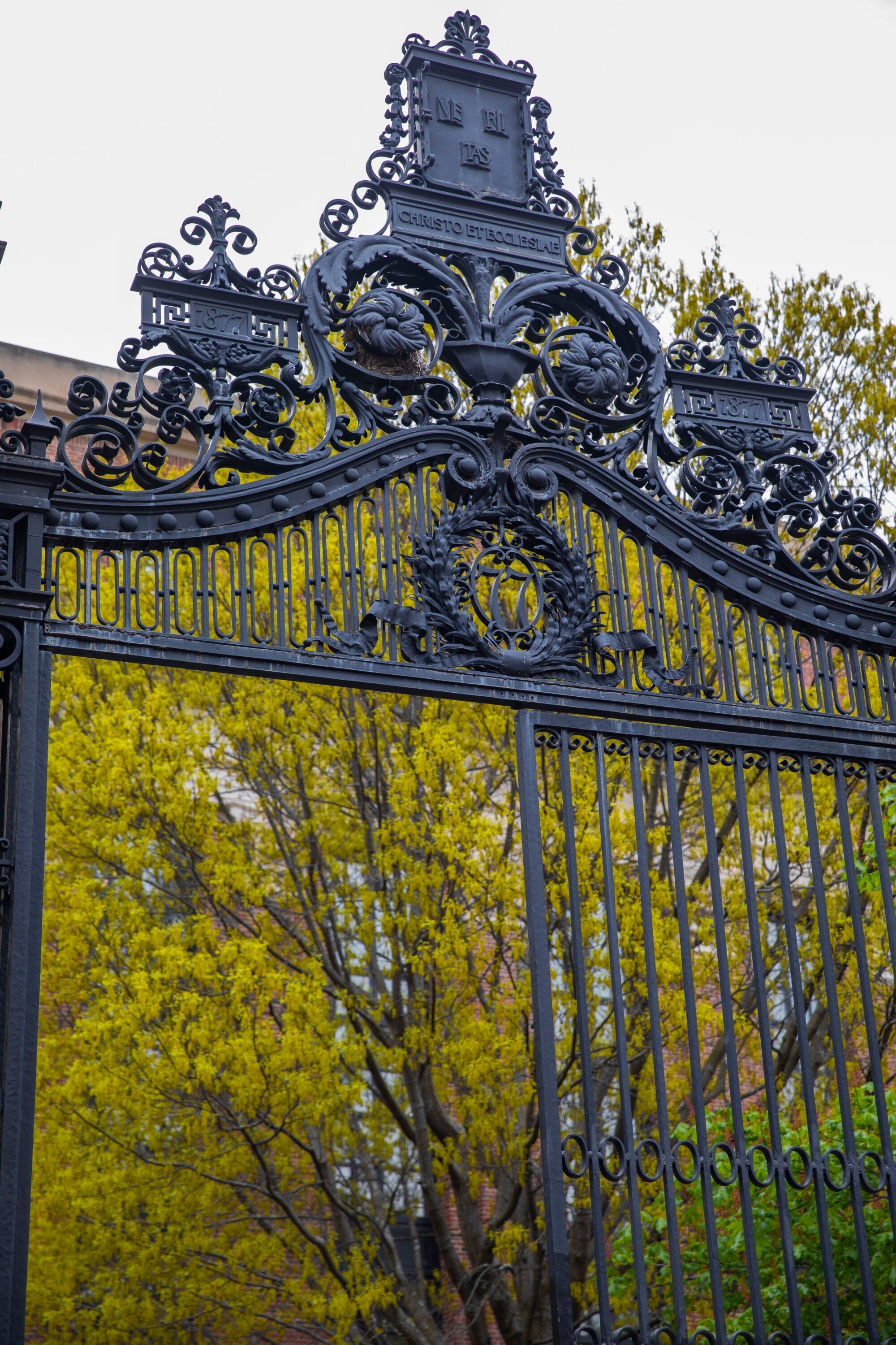 A yellow flowering tree behind the iron gates