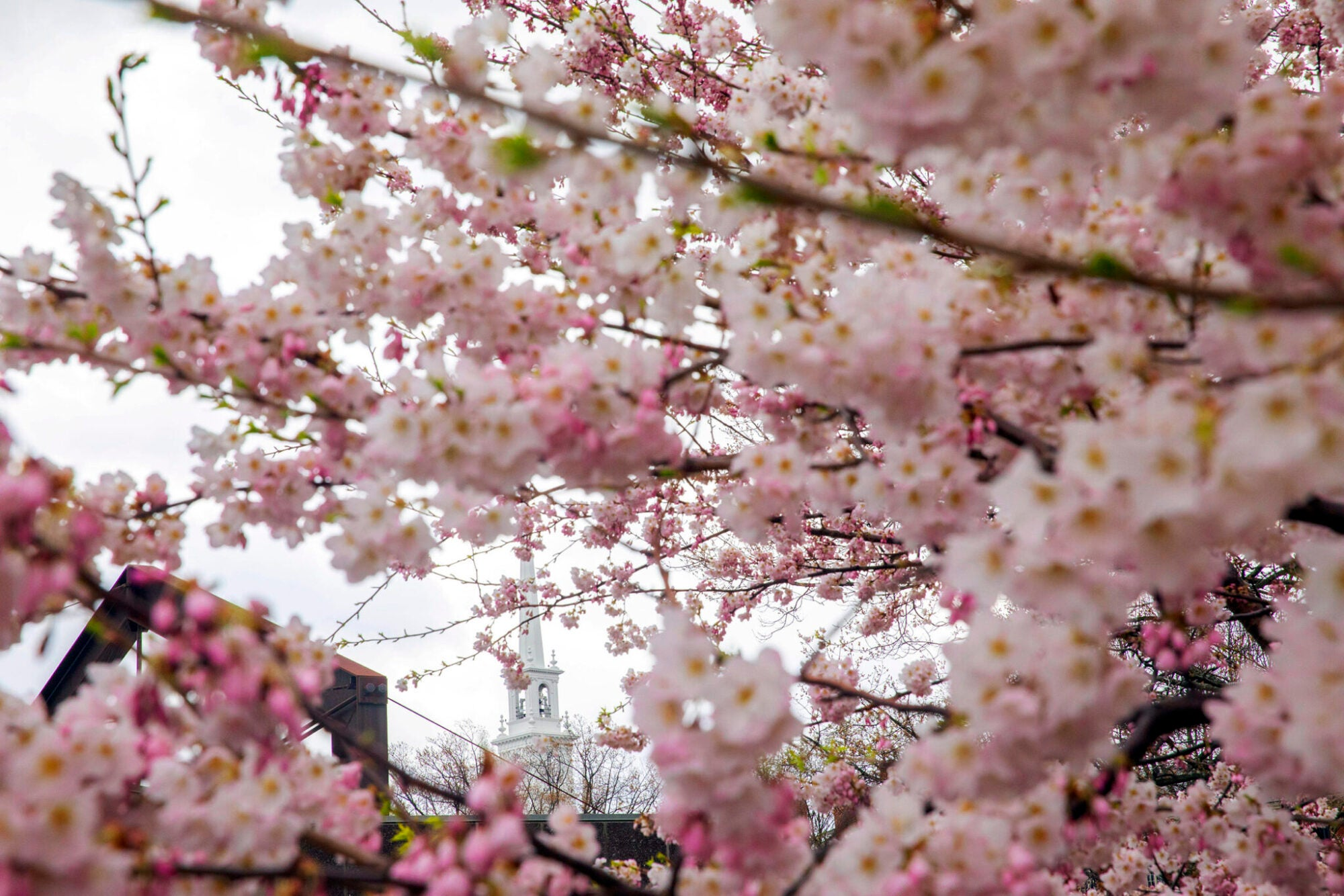 Cherry blossoms on a tree in front of a church